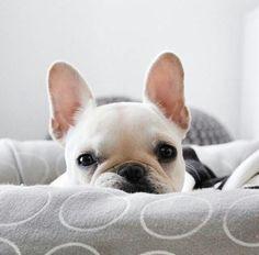 French Bulldog ❤