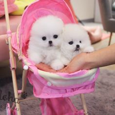 Teacup Puppies For Sale, Cute Puppies, Cute Dogs, Mini Pomeranian, Maltipoo Dog, Man Birthday, Dog Lovers, Tea Cups, Anna