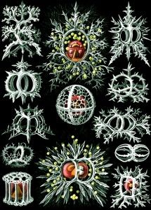 Ernst Haeckel Illustration