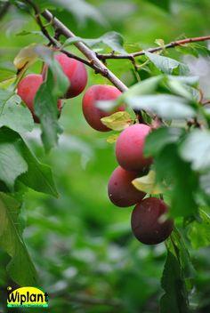 Prunus domestica 'Eurazia 21'. Ryskt plommon. Mognar i september. rosafärgat plommon. Zon III