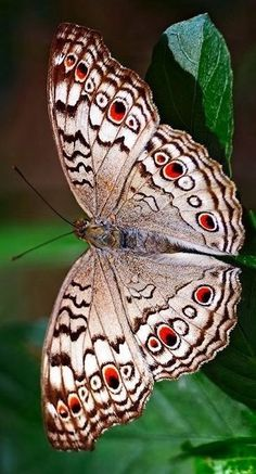 A Grey Pansy butterfly (Junonia atlites) Papillon Butterfly, Butterfly Kisses, Butterfly Wings, Mariposa Butterfly, Butterfly Dragon, Monarch Butterfly, Butterfly Photos, Butterfly Flowers, Butterfly Frame