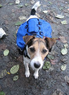 Hiking dog by neil and karen via Flickr  Jasper with her backpack - filled with treats, of course.
