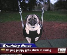 fat pug gets stuck in swing! aww haha. @Jess Pearl Pearl Pearl Liu hunt