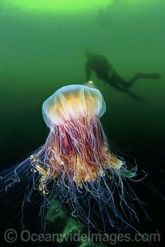 Lions mane jellyfish is the largest jellyfish in th world