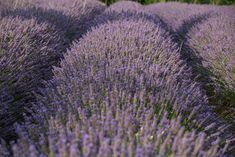The Provence is famous for beautiful blue-purplish lavender fields. Here's where you find them and when the Provence lavender season starts. Provence Lavender, Lavender Garden, Lavender Fields, France Travel, Cool Photos, Seasons, Landscape, Plants, Beautiful