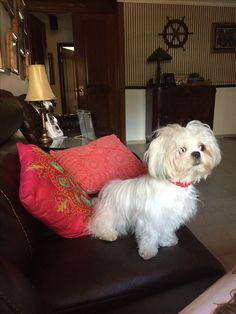 Shih Tzu, Dogs, Animals, Animales, Animaux, Pet Dogs, Doggies, Animal, Animais