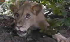Assédio de multidão dificulta trabalho de resgate de leão preso em armadilha