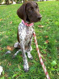 German Shorthaired Pointer pup :)