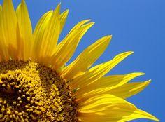 Items similar to Sunflower against blue sky print on Etsy Yellow Sunflower, Sunflowers, Sky, Plants, Summer, Blue, Beauty, Beleza, Heaven