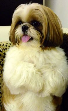 "Click visit site and Check out Cool ""Shih Tzu"" T-shirts. This website is superb. Tip: You can search ""your name"" or ""your favorite shirts"" at search bar on the top. #shihtzu"