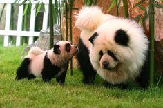 Chow Chows, dyed to look like panda bears