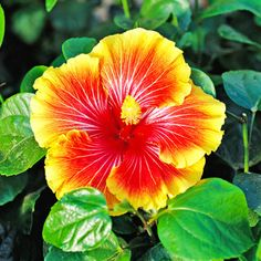 'Bonnie B' hibiscus rosa-sinensis 'Bonnie B' offers large red and lavender blooms that fade to orange and yellow at the edges. It can reach 12 feet tall and 8 feet wide. Zones 10-11