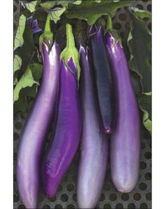 "Pingtung Long Eggplant -HAVE- Asian HEIRLOOM An open-pollinated oriental eggplant variety, imported from Taiwan. Fruits are elongated and slender, averaging 10"" long and 1 1/2"" to 2"" across with a lovely, lavender-purple colored skin and white interior flesh. Bred to be resistant to many diseases, as well as tolerant to wet and hot conditions. A good yielder, with fruit weighing about 1/2 lb."