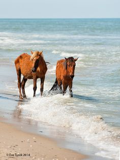 Two Corolla wild horses enjoy the refreshing ocean waters near Carova, NC.  Photo by Eve Turek.