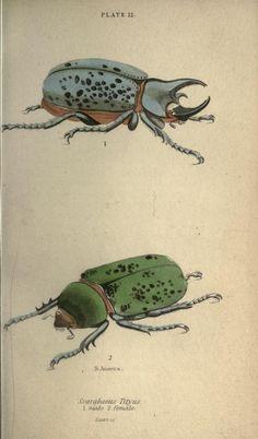 Beetles,Scarabaeus tityus ,H.G. Bohn[1846?