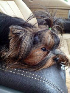 Animals And Pets, Cute Animals, Yorshire Terrier, Teacup Yorkie, Puppies Tips, Yorkie Puppy, Pet Dogs, Doggies, Maine Coon