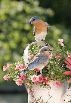 Beautiful Eastern Blue Birds
