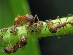 Ants herd and care for aphids in order to keep a much loved food in constant supply. Aphids and ants on plants are as interdependent as peanut butter and jelly. Learn more about this relationship in this article. Garden Bugs, Garden Pests, Organic Gardening, Gardening Tips, Sugar Ants, Harmful Insects, Ants In House, Natural Insecticide, Get Rid Of Ants