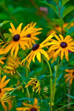 Black eye Susans...very hardy deciduous.  Color lasts from July to early October.