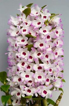 Orchid- dendrobium awesome!