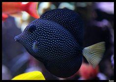 peces exotico