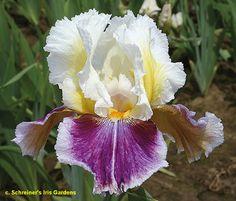"'Dawn Eternal' (Schreiner, R. 2013) Sdlg. TT 709-3. TB, 41 (104 cm), Midseason late bloom. Standards white (RHS 155D), lemon-yellow (3C) centers; Falls red-purple (74B), 1/2"" pale lavender (76D) band down middle and around edge of fall; beards yellow-orange; large flower. 'Maria Tormena' X LL 842-2: (JJ 170-B: (EE 255-B: ('Witch's Wand' x 'Hello Darkness') x CC 279-1, 'Badlands' pod parent) x 'I've Got Rhythm'). Schreiner 2013. Photo by Schreiner's Iris Gardens"