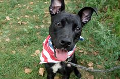 DRE - A1089017 - - Manhattan Please Share:TO BE DESTROYED 09/16/16: A volunteer writes: Hellllllllloooooooooo handsome! Lanky and slender in his gleaming black coat, Dre is stunning. He has a very slight mustache of white along with a tiny little goatee also in white giving his face a distinguished and whimsical look. Not one to trade solely on his good looks, he showed me that he's likely housetrained, walks nicely on leash, sits when asked and takes treats super sw