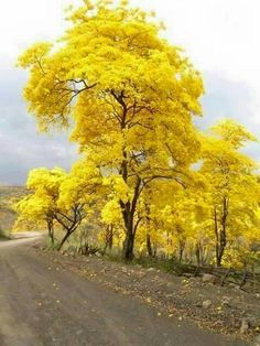 Tajy o Lapacho, es el árbol nacional del Paraguay  Hay de diversos colores , amarillo, rosado , blanco ,el lilaceo.