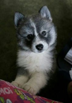 So I'm looking at pomsky puppies again and I can't stop laughing, they are just so cute!