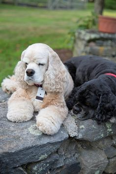 "Determine more relevant information on ""cocker spaniel dog"". Check out our web site. Black Cocker Spaniel, American Cocker Spaniel, Cocker Spaniel Puppies, Cute Puppies, Cute Dogs, Dogs And Puppies, Doggies, Animals Beautiful, Cute Animals"