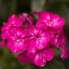 Tall Garden Phlox Phlox paniculata -- garden, tall, or border phlox -- grows 3 to 4 feet tall and bears large trusses of fragrant flowers from summer to early fall. It's an old-fashioned favorite that has few rivals for its color display and light, sweet fragrance. It's well suited to the back of the garden and cottage gardens.