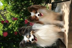 Papillon - This is what my other baby (Logan) is.