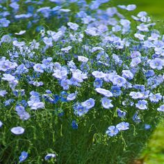 Blue Flax seeds can be planted in the late fall. This wildflower seed benefits from the cold of winter and will lie dormant until temperatures warm in the spring. Herb Seeds, Garden Seeds, Flax Flowers, Wild Flowers, Blue Garden, Lawn And Garden, Flowers Perennials, Planting Flowers, Flax Plant