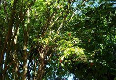 Eugenia involucrata - Nas matas essa árvore pode chegar a 15 metros de altura.