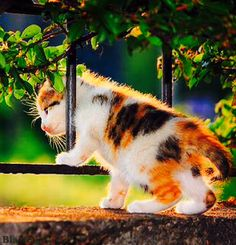 Calico Kitten Easily Going Between Two Rods of a Fence of Gate.