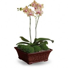 Divine Orchid A duet of phalaenopsis orchids dance gracefully upward from a bed of natural seed gravel and moss. Presented in a serenely beautiful decorative planter, these tropical houseplants can thrive for years in the right conditions. Mothers Day Plants, Mothers Day Flowers, Send Flowers, Phalaenopsis Orchid, Orchid Plants, Moth Orchid, Orchid Flowers, Orchid Care, Mothers Day Flower Delivery