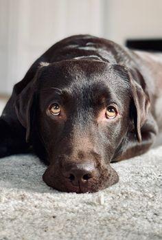 Spielen mit Freunden im Dog Park macht müde. Gute Nacht Facebook #labradorablesally 🧚♀️👑❤️ #labrador #labradorretriever #bestdog #citydog #dog #wiesbaden #dogsarefamily