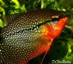 Aquarium Fish, Tropical fish, and Goldfish for Sale Online Best Aquarium Fish, Goldfish For Sale, Buy A Kitten, All Fish, Water Animals, Freshwater Fish, Tropical Fish, Marine Life, Betta