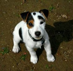 Adopting a Dog – Puppy or Adult? : Jack Russell Terrier Dogs Photos You Will Love Rat Terriers, Terrier Puppies, Bull Terrier Dog, Boston Terrier, Jack Russell Terrier, Jack Russell Puppies, Cute Puppies, Cute Dogs, Dogs And Puppies