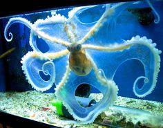 translucent octopus
