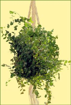 "Ficus pumila ""green sunny"""