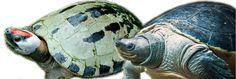 By Stacey Venzel Just like human babies have different needs from adults, turtles use varying [. Human Babies, Marine Life, Turtles, Color Change, Fun Facts, Colors, Photography, Animals, In Living Color
