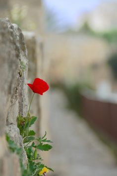The lonely poppy - Jerusalem, Jerusalem