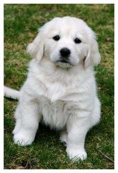 Check Out Old Golden Retriever, Caesar! Golden Retriever Dog Training in Virginia White Golden Retriever Puppy, English Golden Retrievers, Golden Puppy, White Golden Retrievers, English Golden Retriever Puppy, Retriever Dog, Labrador Retrievers, Puppies For Sale, Cute Puppies