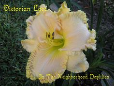 Victorian Lace  (Stamile, 1999)-Daylily Victorian Lace;Stamile Daylily;Pink w' Gold Ruffled Edge Daylily;Daylily Picture;Perennials;Award Winning Daylily;Fragrant Daylilies;Early Midseason Daylily;Reblooming Daylilies