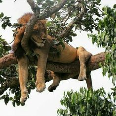 Rather be sleeping in tree like this fellow than be in school...