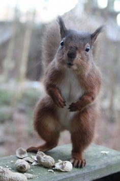 Red squirrel at center parcs Penrith uk