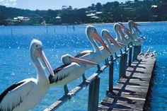 Pelicans at Merimbula lake Holidays, Travel, Beautiful, Australia, Viajes, Holiday, Traveling, Holidays Events, Vacations