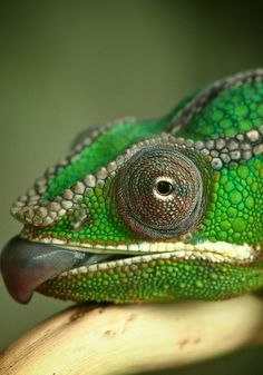 Panther Chameleon by John Flick Purchase Animals Of The World, Animals And Pets, Cute Animals, Reptiles Et Amphibiens, Mammals, Animal 2, Mundo Animal, All Gods Creatures, Sea Creatures