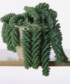 Donkey Tail...on this list of indoor plants safe for kids and pets